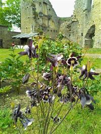 Ancolie Château de Thil © C. OLLART